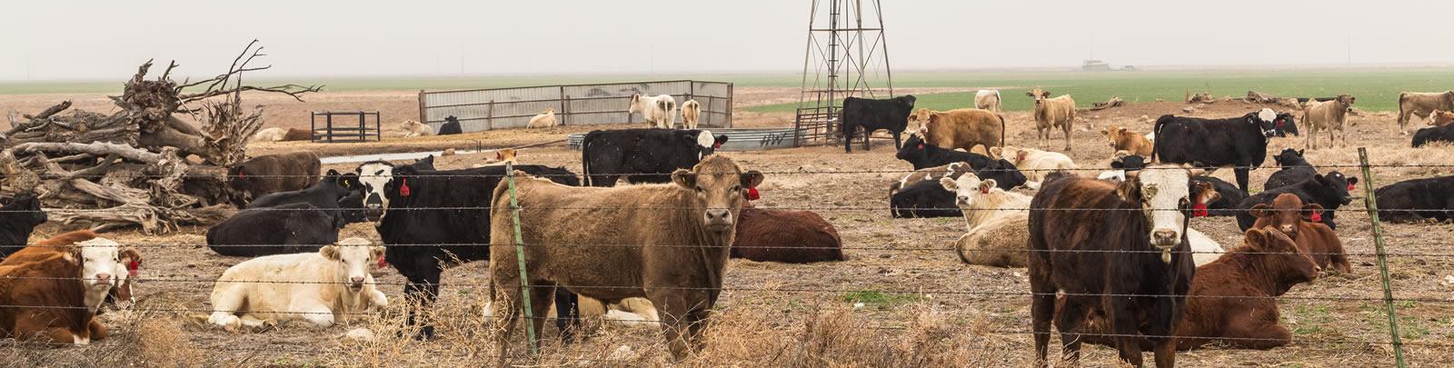livestock3